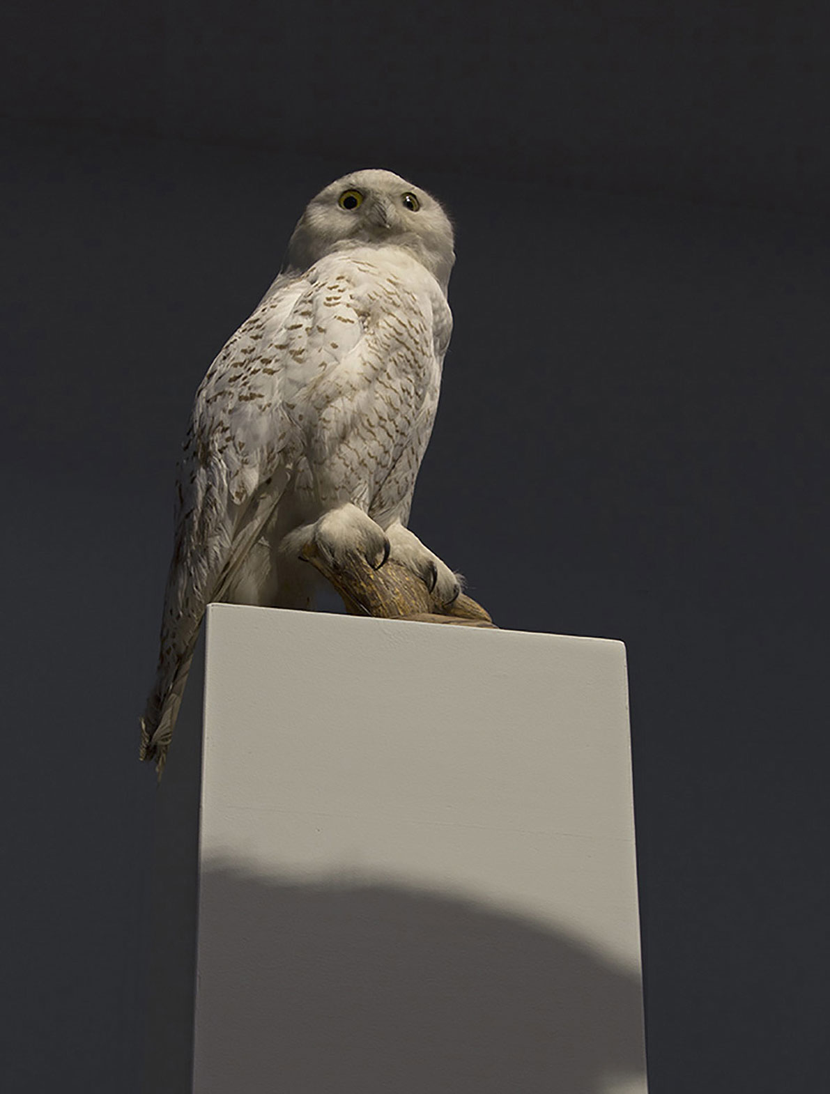 Observatory, taxidermied Snowy owl