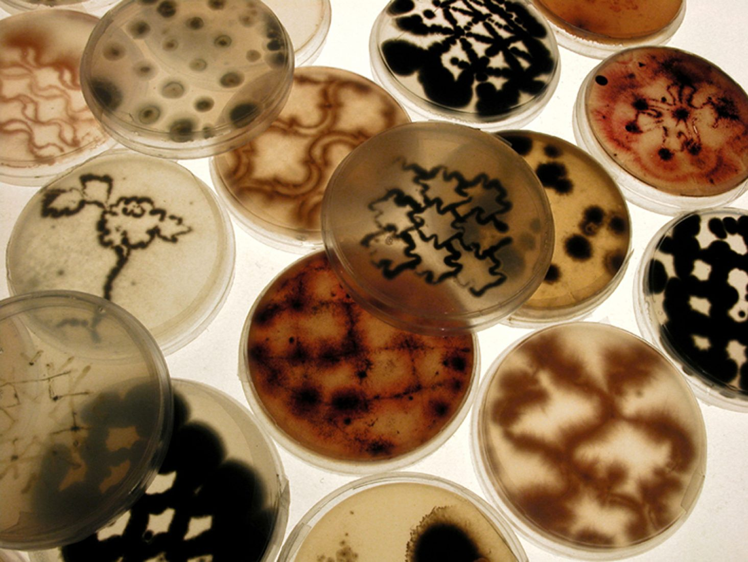 Drawings on agar petri dishes with mold and bacteria