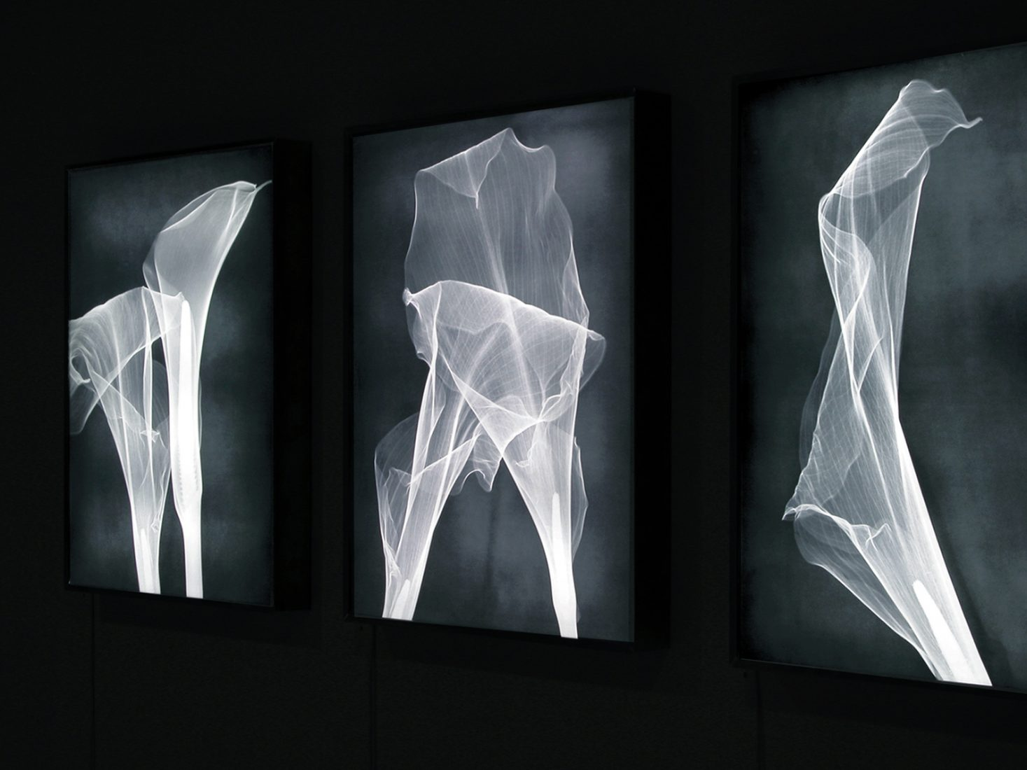 Grotesque & Arabesque, installation view with a series of light boxes: lambda duratrans, x-rays of callas, dimensions variable